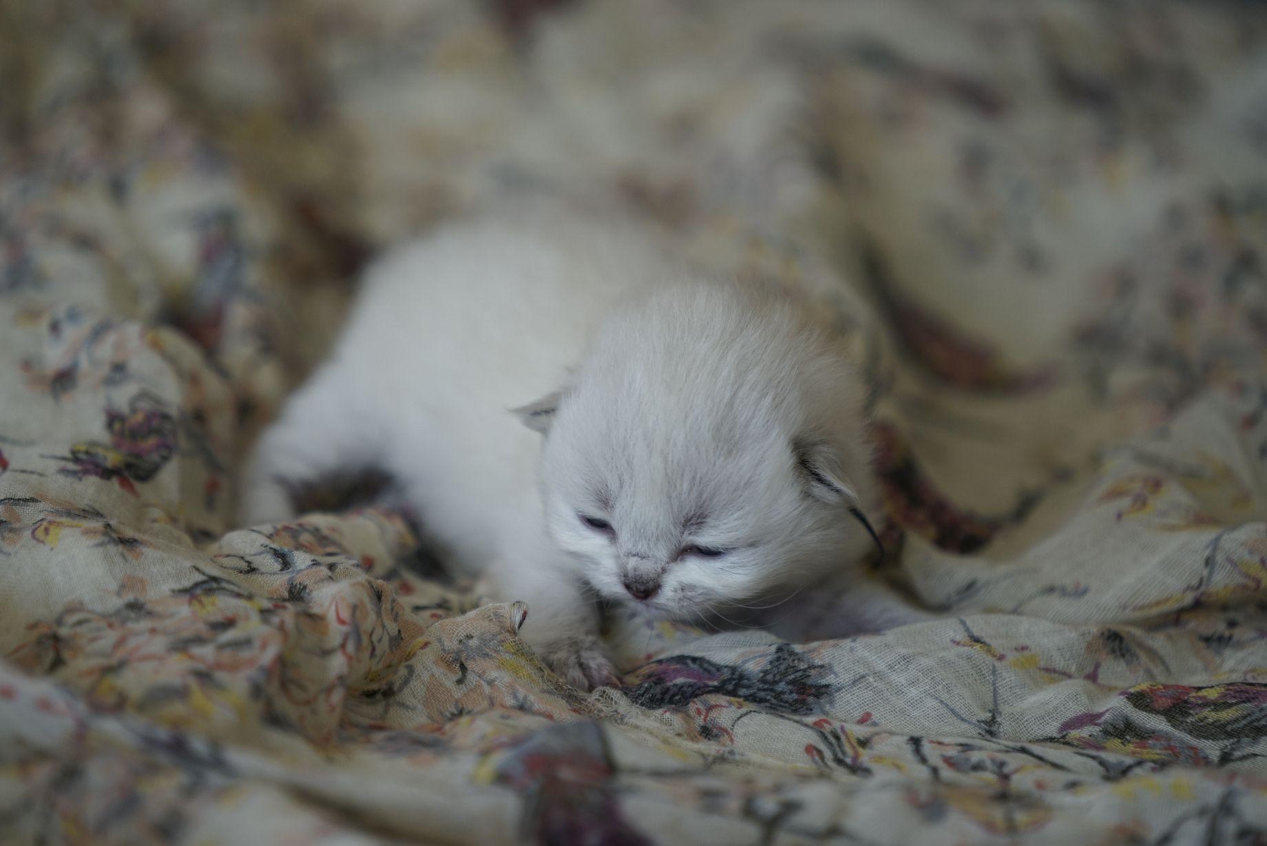 Kittens British Malice 4