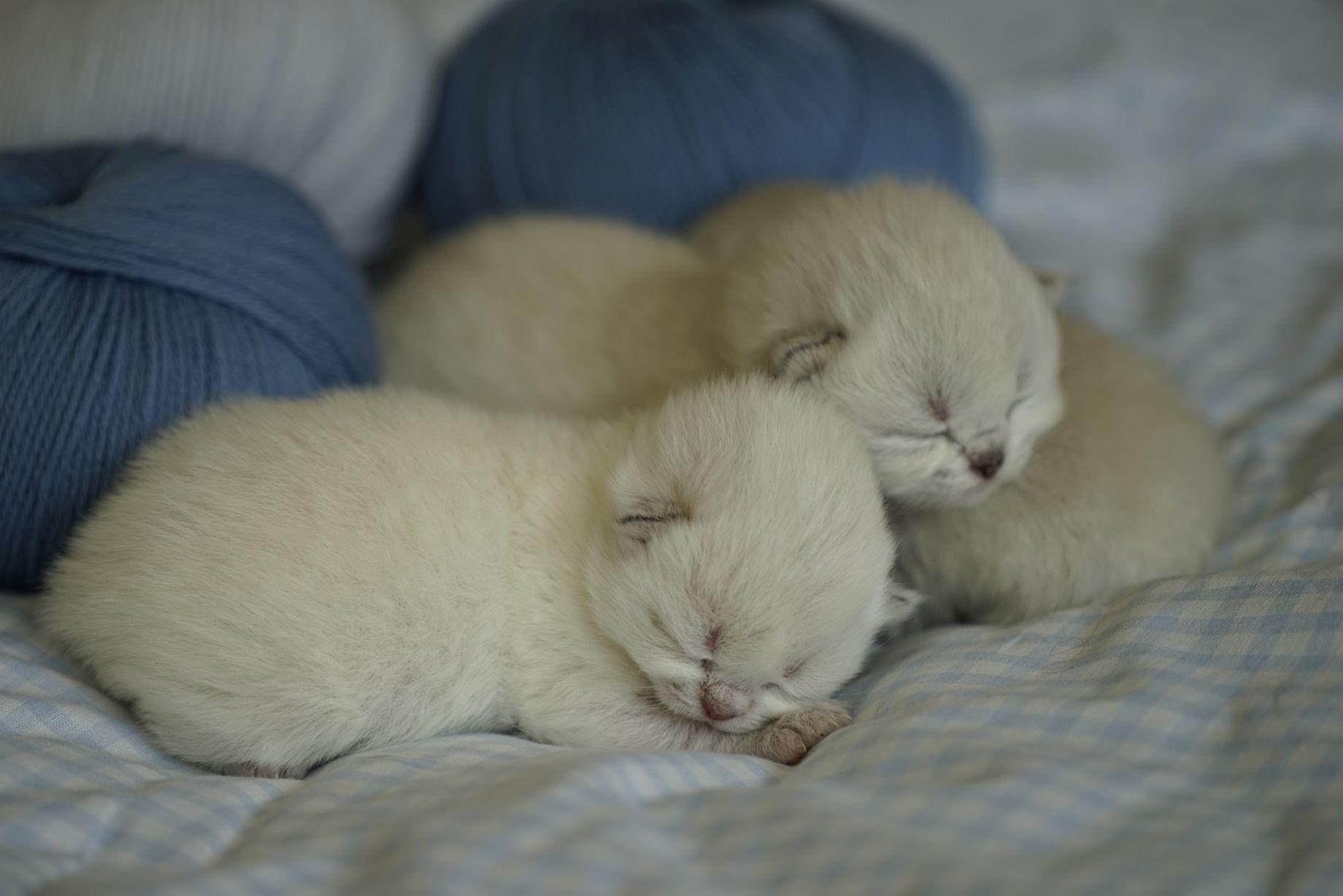 Kittens British Malice 3