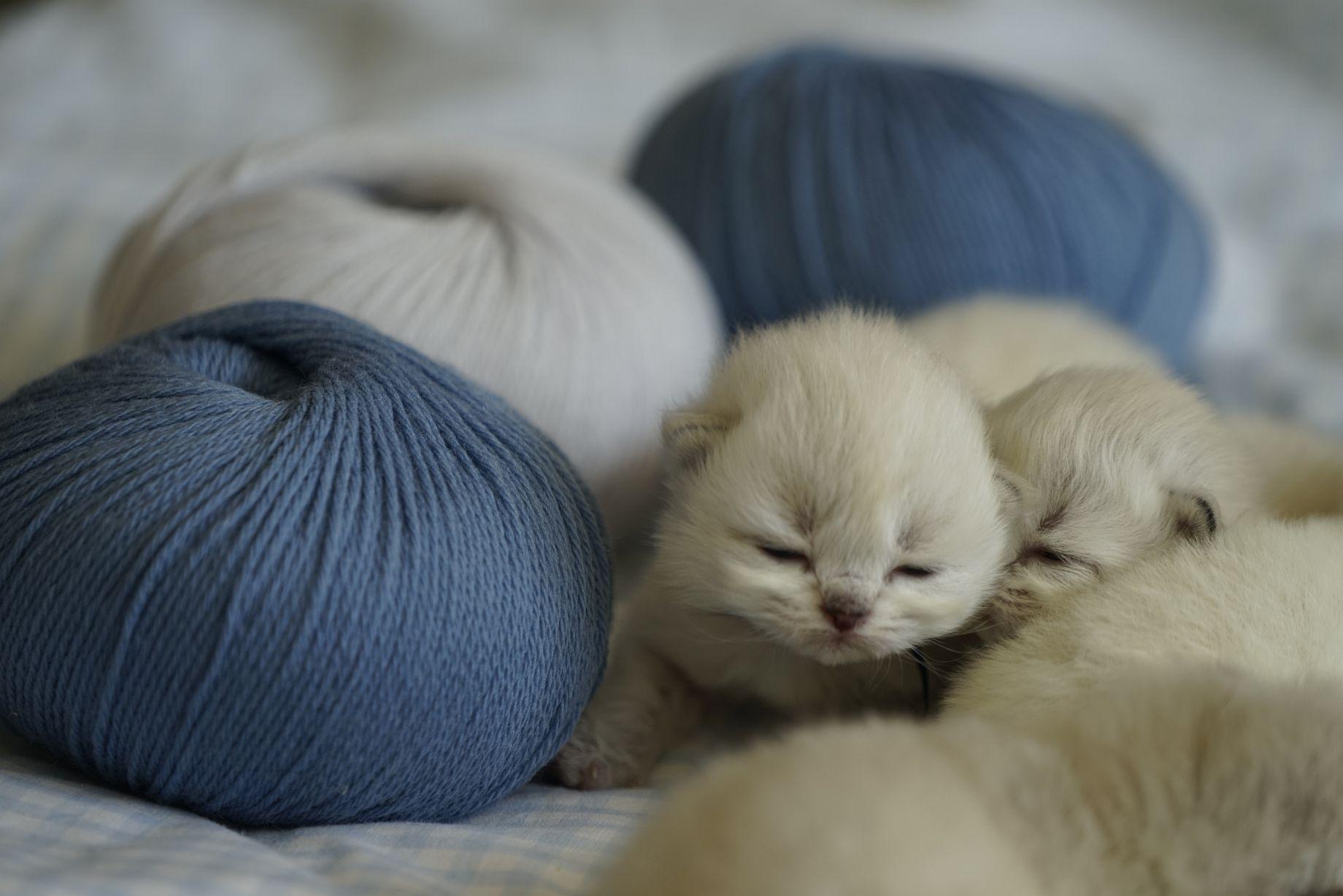 Kittens British Malice 2
